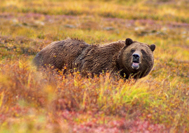 Photo of Wyoming Grizzly Bear Hunting Applications Available Now!  by Mike Bodenchuk, Contributor