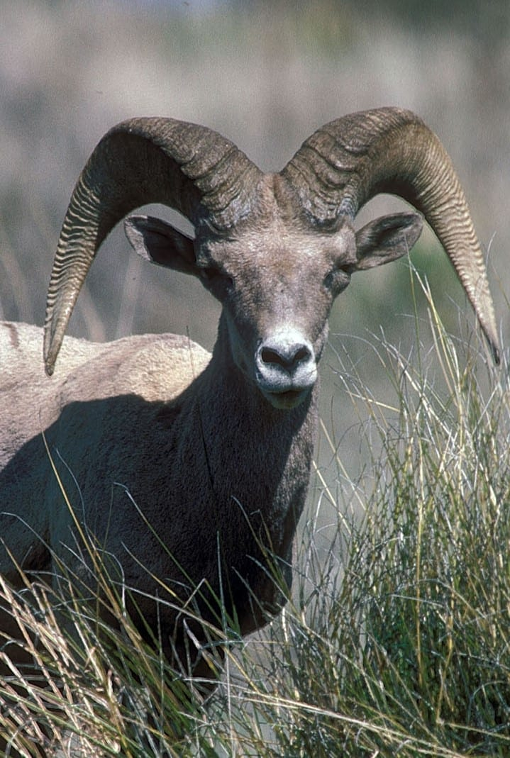 Photo of Texas Desert Bighorn Sheep Tag Available for 2018 Draw